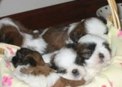 Dulce shih tzu cachorros para casas