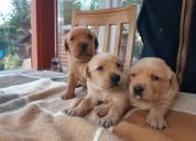 Cachorros labrador disponible