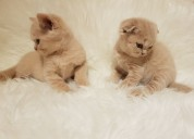 Cream scottish fold gatitos