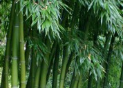 Parque bambú - venta de plantas de bambú