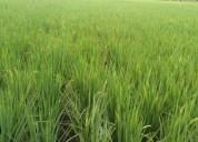 Busco vendedores de arroz organico 100 libre de quimicos en guayaquil
