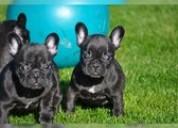 Frenchbull cachorros perros en adopción