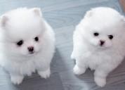 Pequeños cachorros de pomerania