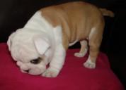 Regalo excelentes cachorros  de bulldog inglese