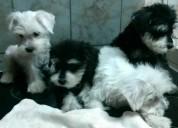 Cachorros schnauzer color