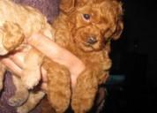 Preciosos cachorros poodle toys