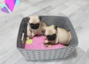 Hermosos cachorros de carlino listos