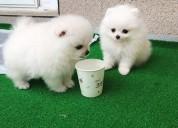 Dulces cachorros de pomerania