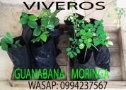 Vendemos viveros de moringa y hojas de te de guana