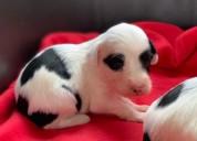 Impresionantes cachorros de terrier tibetano