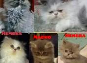 Hermosos gatitos persas extremos puros