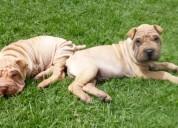 Shar pei cachorros en venta