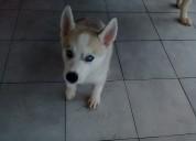 Venta de cachorro husky