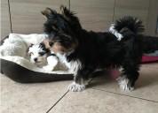 Regalo cachorros toy , de yorkshire terrier