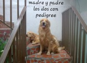 Golden cachorras padres con pedigree