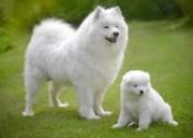 Samoyedo cachorrita hermosa cachorra