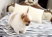 Adorables cachorros pomerania machos y hembras que