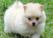 Pomerania spitz cachorro mini juguete muy dulce y