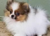 Cachorros pomerania machos y hembras de 12 semanas