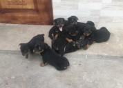 Venta rottweiler cachorros