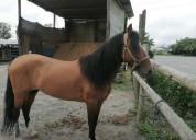 Venta de caballo colombiano