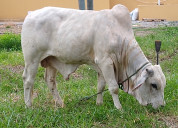 Vendo hermoso toro brahman puro