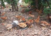 Vendo pollos criollos