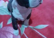 Se vende cachorros pitbull de un mes