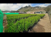 Venta de plantas durazno nueva variedad