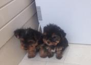Cachorros de yorkies