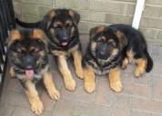 Se vende cachorro de pastor alemán.