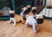 Cachorros de pugs de padre campeón