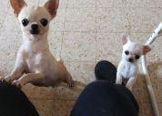 Pequeños cachorros de chihuahua - kc reg