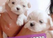 Cachorros pekinés puros