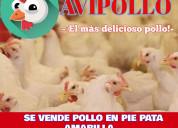 Avicola pollo en pie pollos faenados