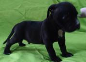 Cachorros pitbull fusión