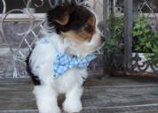 Cachorros de yorkshire registrados para regresar