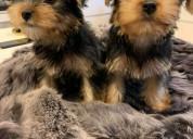 Los cachorros de yorkshire terrier necesitan un nu