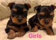 Yorkshire terrier para rehoming
