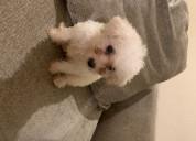 Hermosos cachorros malteses a la venta