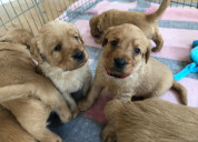 5 adorables chicas labrador