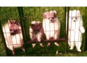 Hermosos cachorros de pomerania