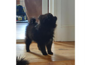 Pomerania negro listo para adopción