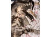 Bebés de bengala de pedigrí excepcional disponible