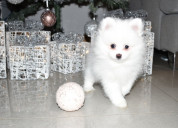 White fluffy tiny kc poms para la venta