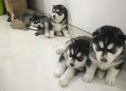 Juguetones cachorros de husky siberiano