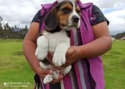 Hermosos beagle tricolor envios a nivel nacional