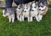 Huskys siberiano envíos y entregas a nivel naciona