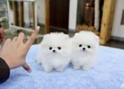 Dos lindos cachorros de pomerania machos y hembras
