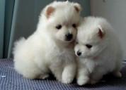 Hermanos cachorros pomerania registrados